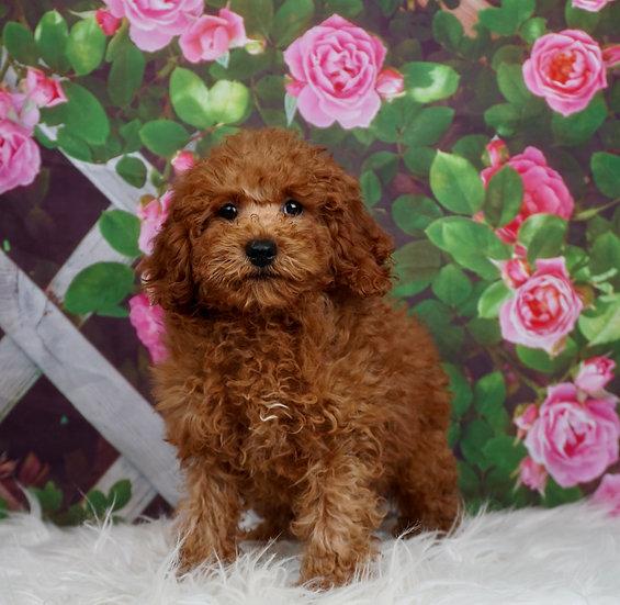 Rookie - AKC - Miniature Poodle - Boy
