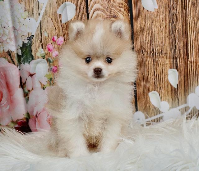 Allen - AKC - Pomeranian - Boy