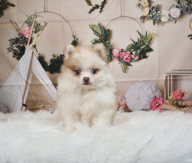 Suzie Q - AKC - Teacup Pomeranian - Girl
