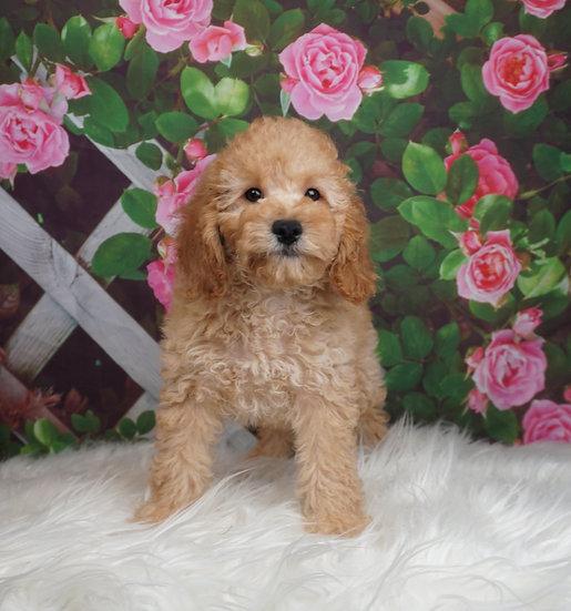 Bouji - UABR - Miniature Poodle -Boy