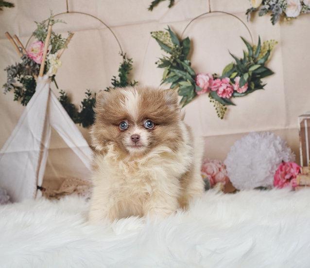 KiKi - AKC - Teacup Pomeranian - Girl