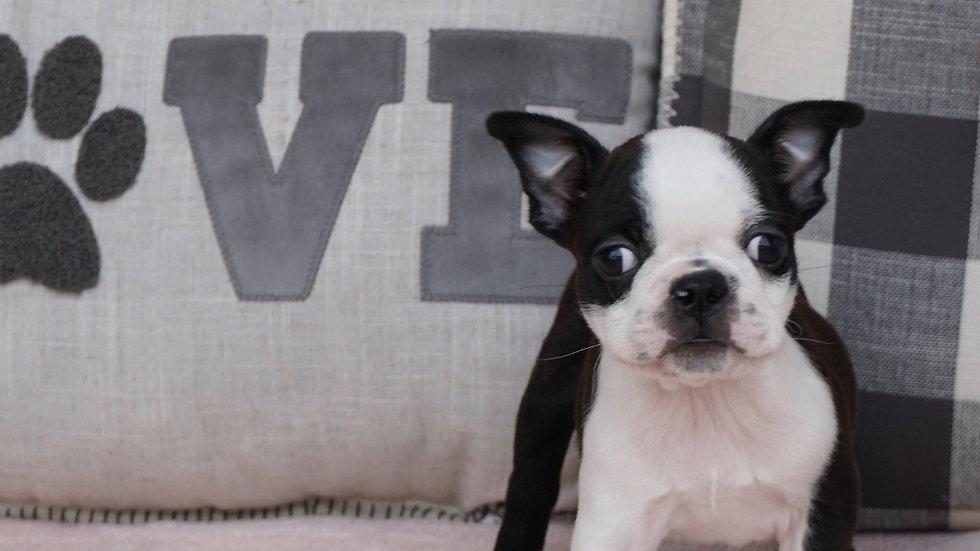 Archie -  Boston Terrier
