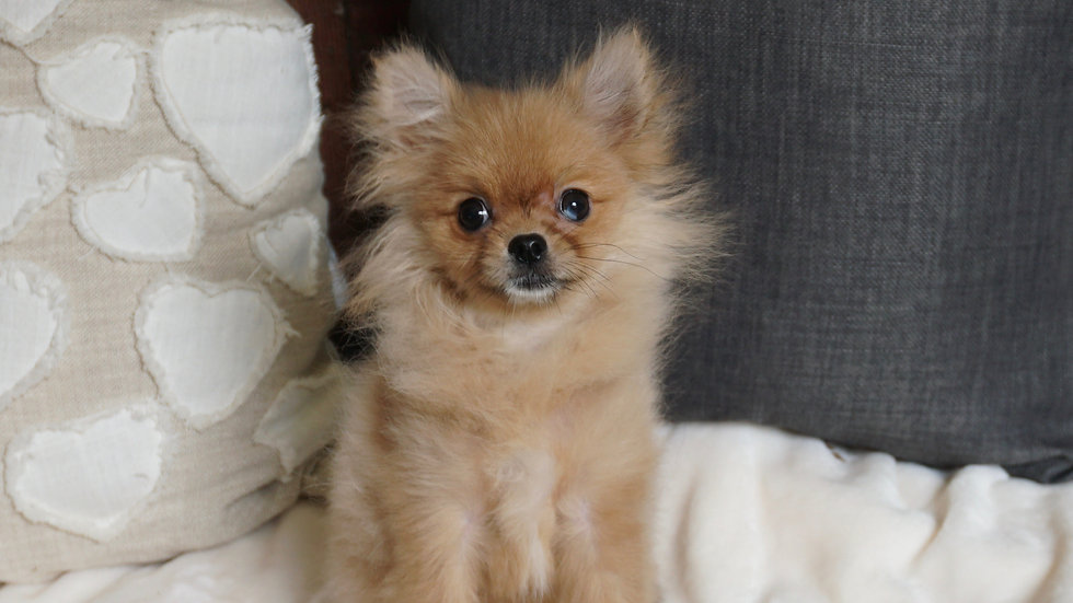 Tiny Callie - Pomeranian