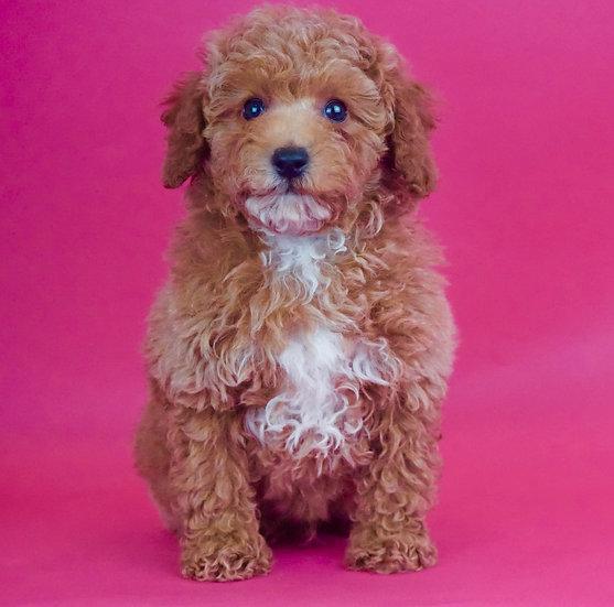 Wonder - Toy Poodle - AKC - Boy