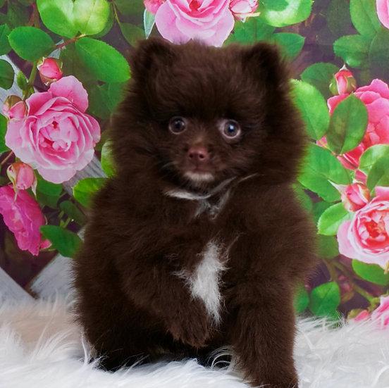 Truffle - AKC - Pomeranian - Boy
