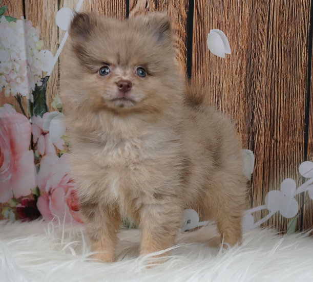 JoJo - AKC - Pomeranian - Boy