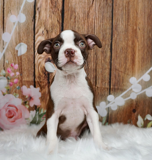 Rigos - AKC - Boston Terrier - Boy