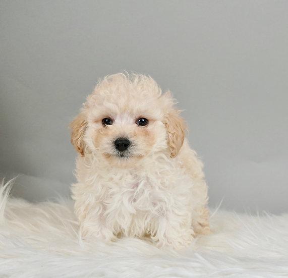 Finley  -  Miniature Poodle - AKC Boy- Ready 01/13