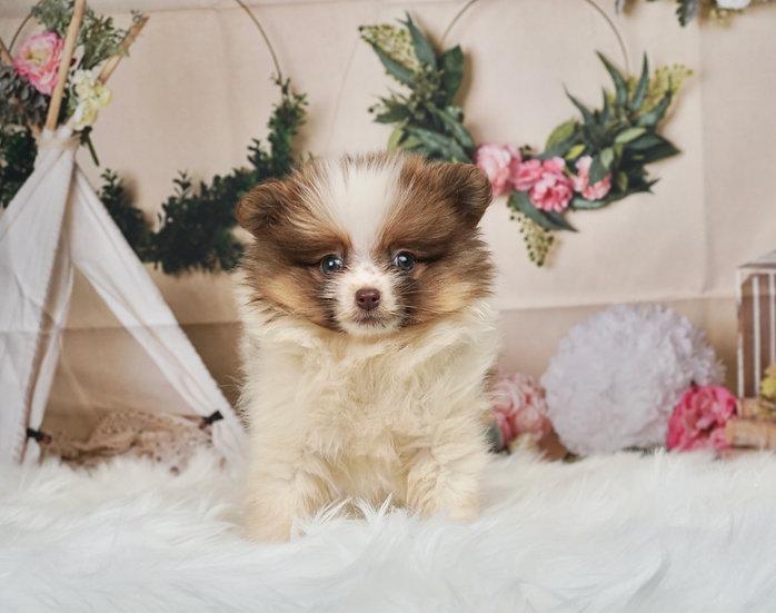 Valerie - AKC - Toy Pomeranian - Girl