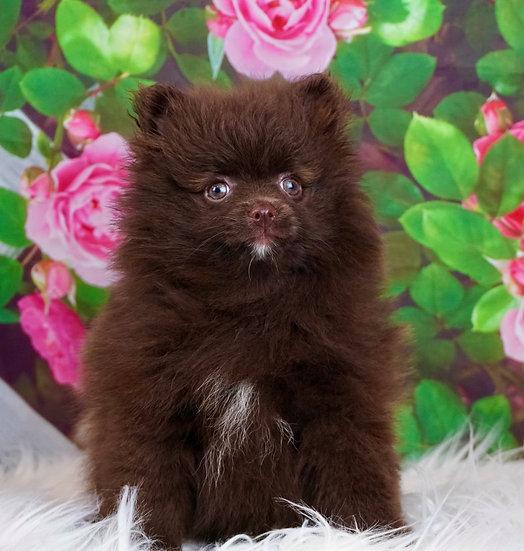 Princess - AKC - Pomeranian -Girl