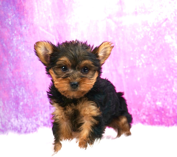 Willow - UABR - Yorkie - Girl