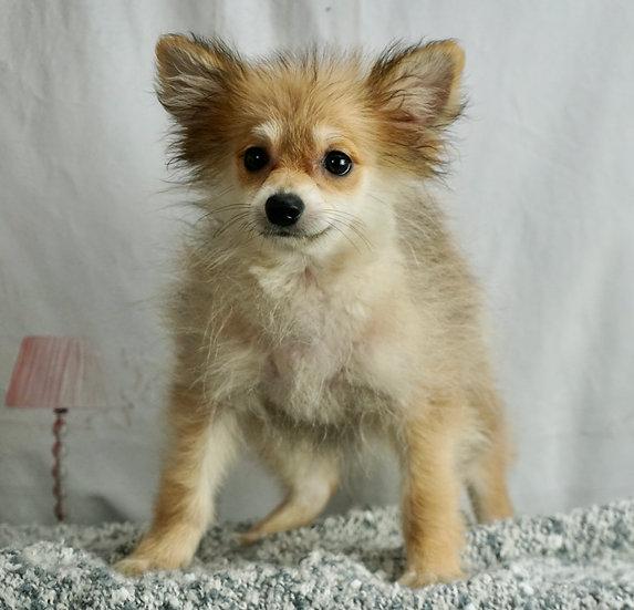 Bart - AKC - Pomeranian - Boy
