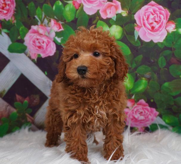 Cherry - AKC - Toy Poodle - Girl