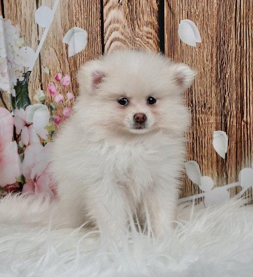 Roo - AKC - Pomeranian - Boy