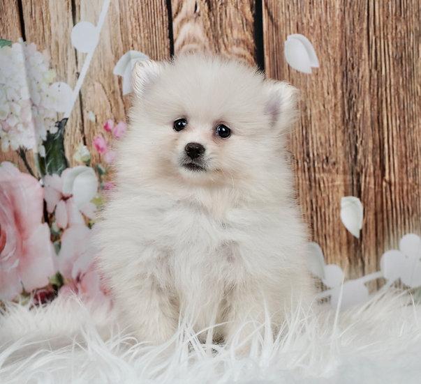 Charmer - AKC - Pomeranian - Boy