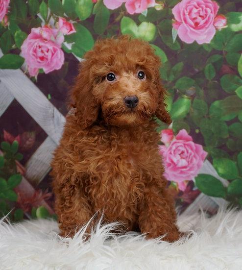 Rugby - AKC - Miniature Poodle - Boy