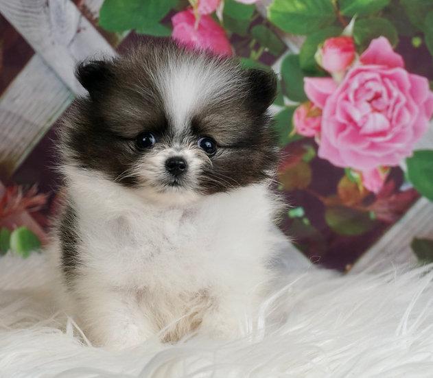 Special - AKC - Micro Teacup Pomeranian - Boy