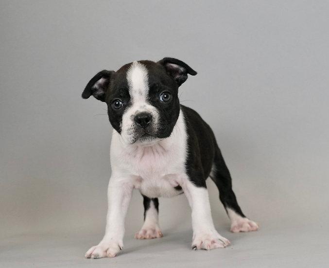 Tank - Boston Terrier - AKC Boy