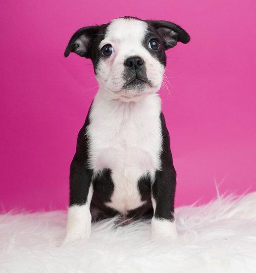 Boston - Boston Terrier - AKC - Boy