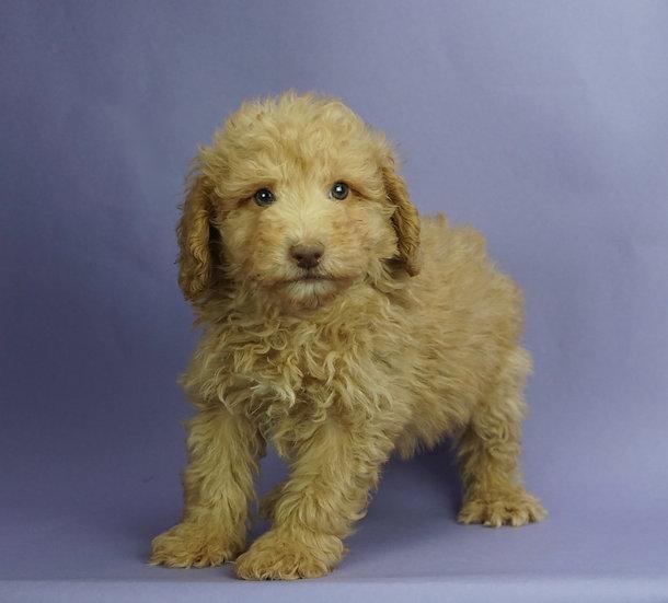 Joby - Toy/Mini Poodle - AKC - Boy