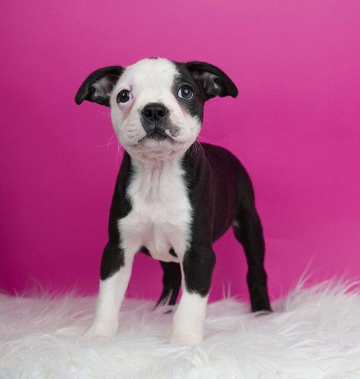 Ralley - Boston Terrier - AKC - Boy