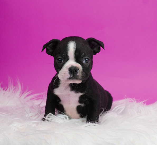 Moxie - Boston Terrier - AKC - Girl