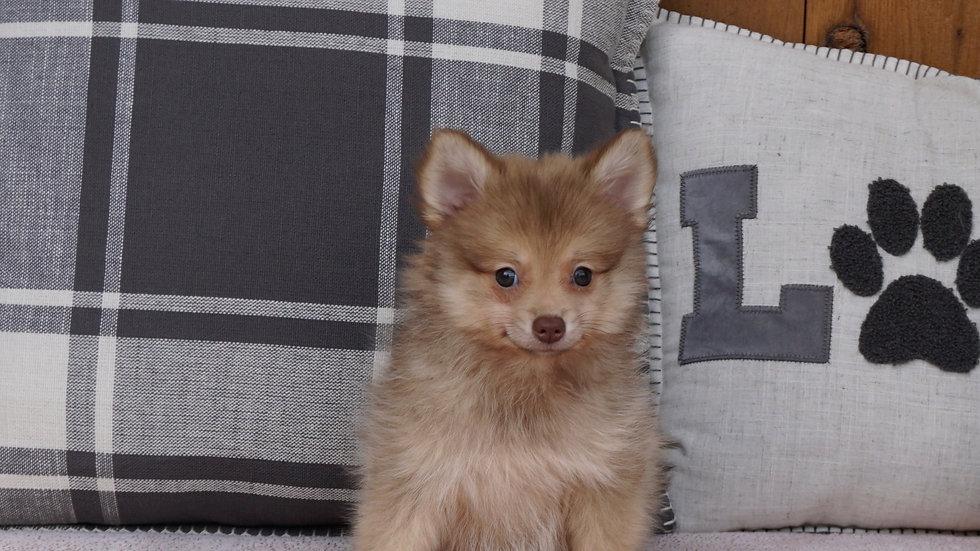 Lexi - Pomeranian