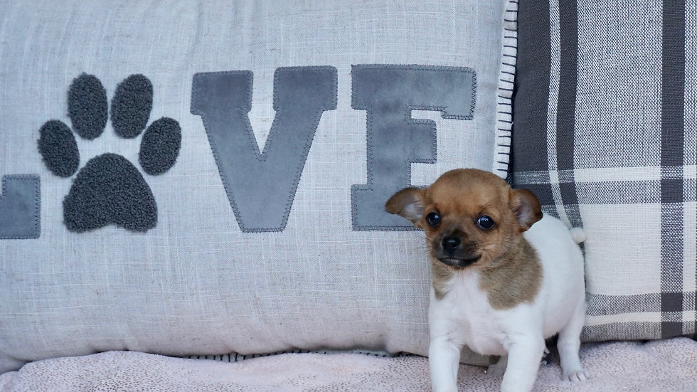 Tiny Finn -  Chihuahua