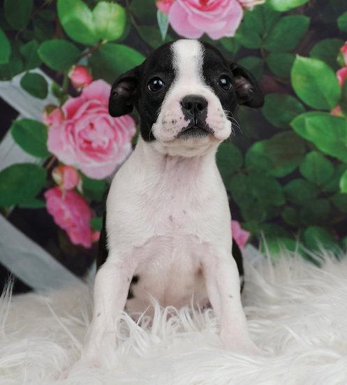 Diamond - AKC - Boston Terrier - Girl