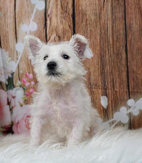 Quin - UABR - West Highland Terrier - Boy