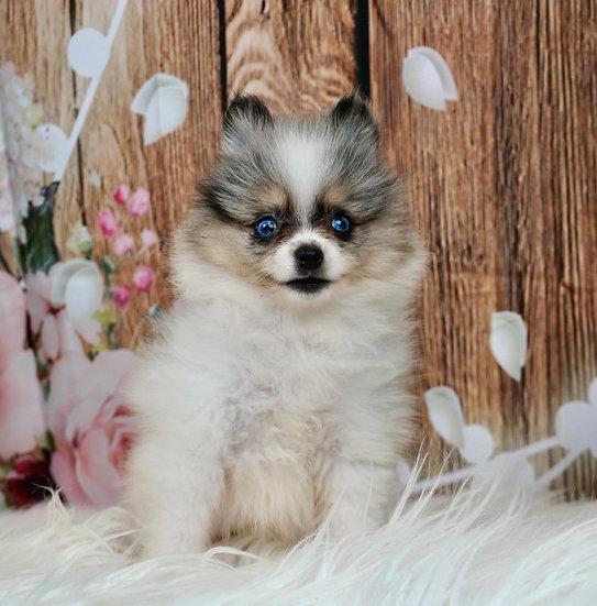 Poppy - AKC - Pomeranian - Girl