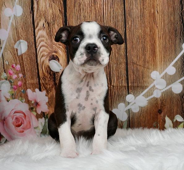 Georgie - AKC - Boston Terrier - Boy