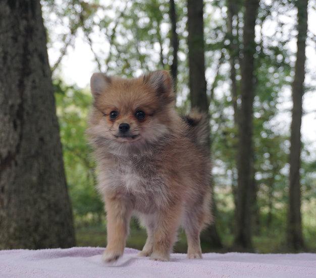 Roxie - Pomeranian - Girl