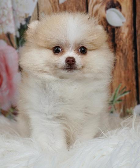 Midge - AKC - Pomeranian - Girl