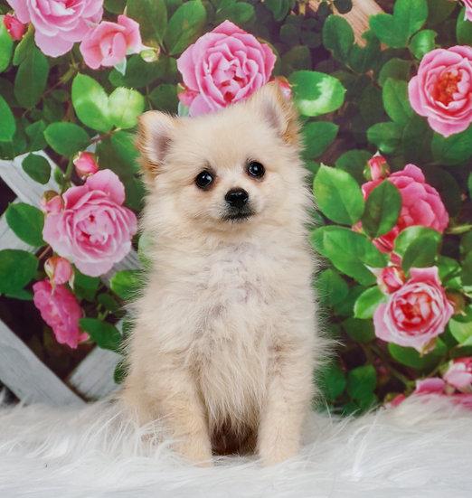 Cupcake - UABR - Pomeranian - Boy