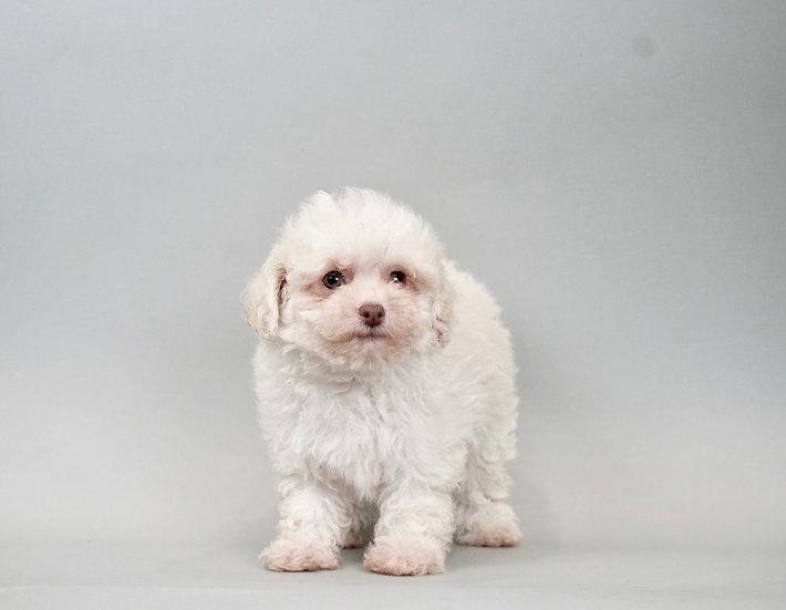 Elsa  -  Toy Poodle - AKC Girl