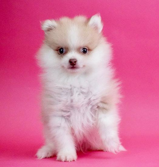 Lucky - Pomeranian - AKC - Boy