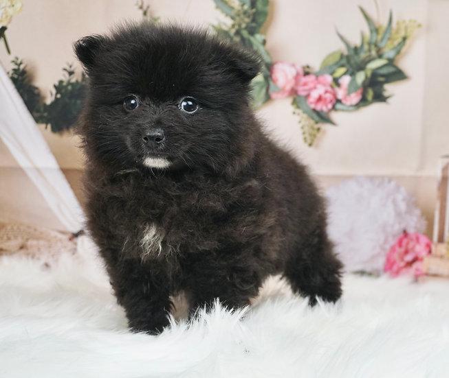 Rory - Toy Pomeranian - Boy