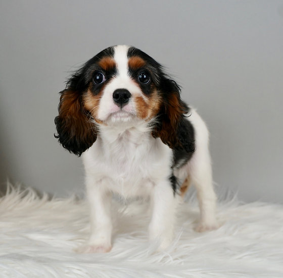 Charlie - Cavalier King Charles - Champion Lines - AKC BOY