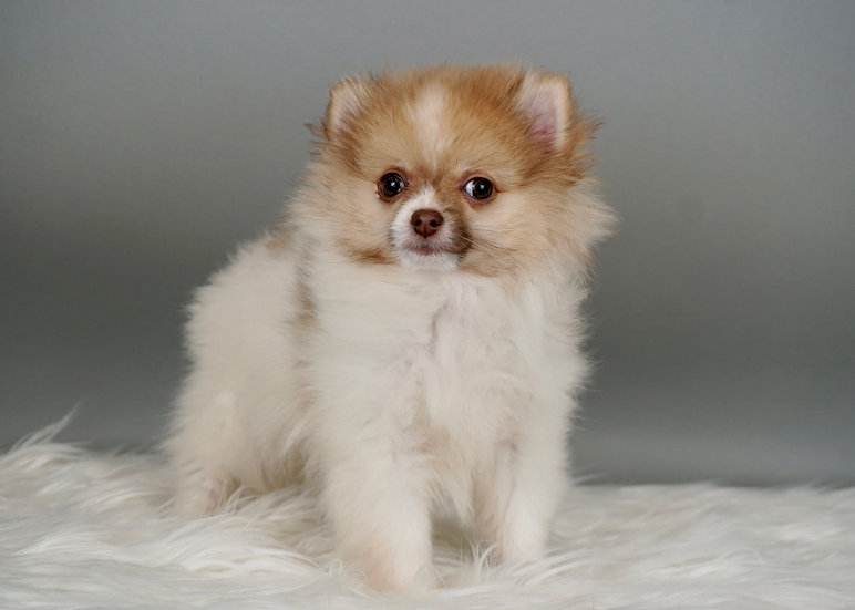 Voomer - Pomeranian - Boy - AKC