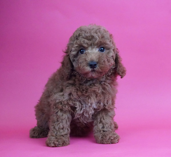 Cinnamon - Mini Poodle - AKC - Girl