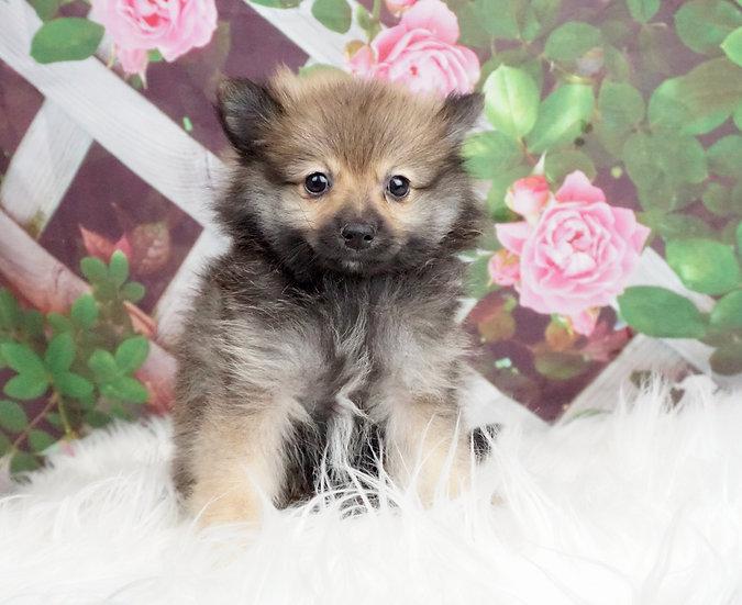Winnie - Toy Pomeranian - Girl