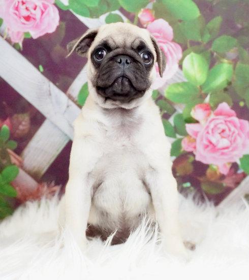 Freddie - AKC - Pug - Boy