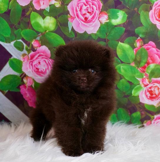 Hershey - AKC - Pomeranian - Boy
