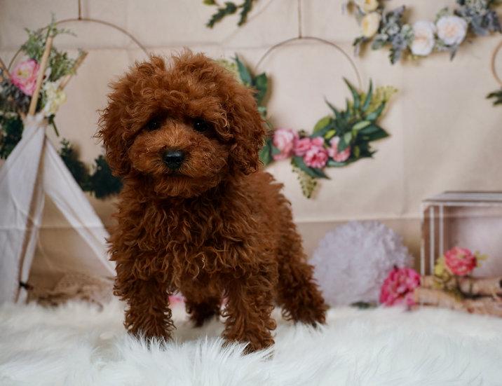 Red Velvet - AKC - Toy Poodle - Girl