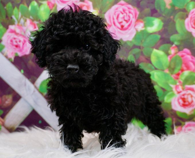 Georgie - AKC - Miniature Poodle -Boy