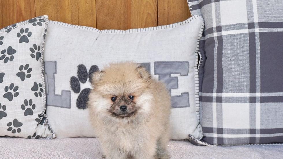 Primo - Pomeranian
