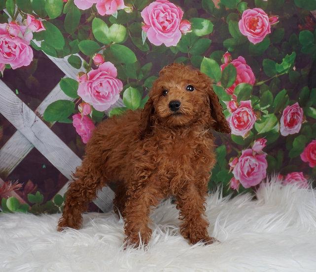 Rooney - AKC - Miniature Poodle - Boy