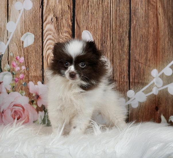 Tootsie - AKC - Pomeranian - Girl