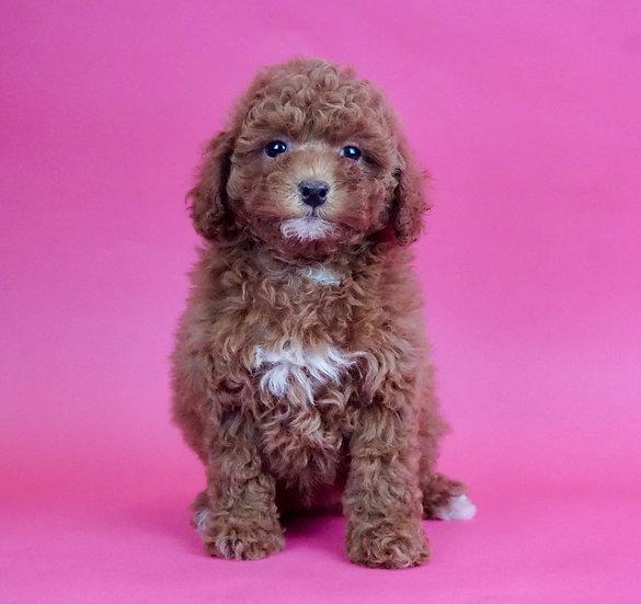 Cabarnet - Mini Poodle - AKC - Girl